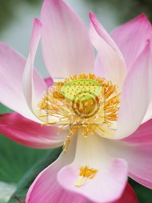 Obraz Pink Lotus