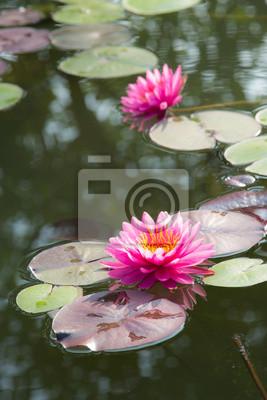 Pink Lotus w basenie