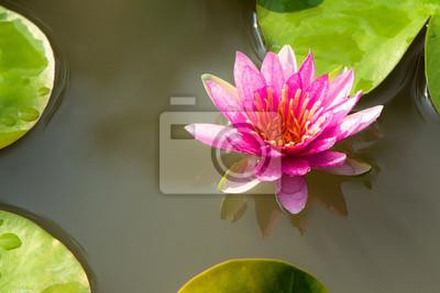 Pink Lotus w stawie
