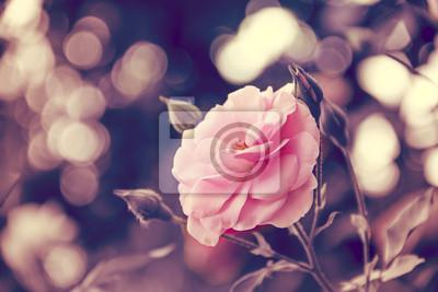 Obraz Pink Rose
