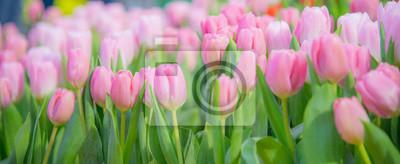 Obraz pink tulips in the garden