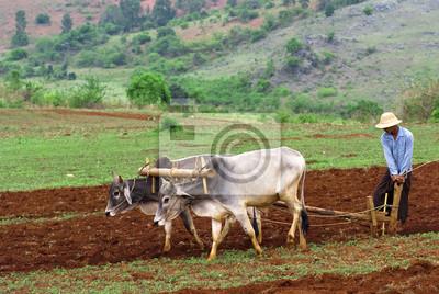 Plantacji ryżu w Birmie