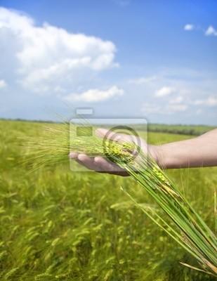 Podaj utrzymać zielone kłosy pszenicy