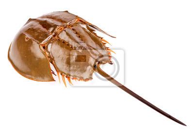Podkowa kraba na białym tle
