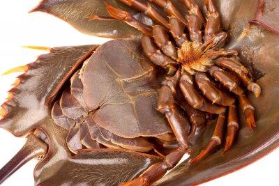 Podkowa kraba w samodzielnie na białym tle