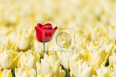 Obraz Pojedynczy tulipan czerwony rośnie w polu pełnym żółtych tulipanów