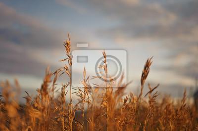Pola pszenicy