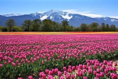 Obraz Pola tulipanów