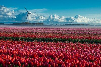 Obraz pola tulipanów, irigation kanał mgła i wiatr młyny