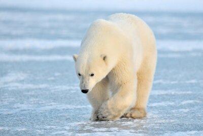 Obraz Polar Bear chodzenia na niebieski lód.