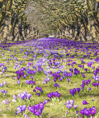 Pole krokusów w parku, wiosna czas.