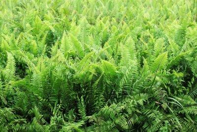 Obraz Pole paproci roślin