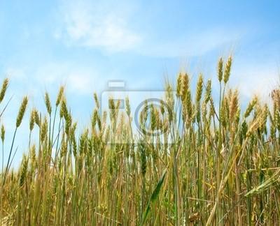 Pole pszenicy