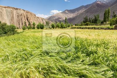 Pole pszenicy w suchych Ladakh regionie w Indiach