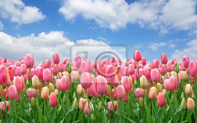 Obraz Pole różowe tulipany na jasnym zachmurzonym niebie