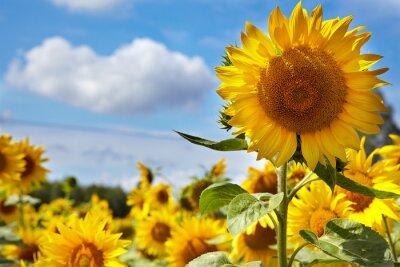 Obraz Pole słoneczników.
