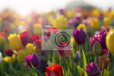 Obraz Pole tulipanów kolorowe w rozkwicie