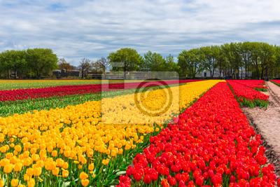 Obraz Pole Tulipany