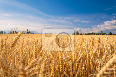 Obraz Pole uprawne. Złoty pszeniczny pole pod niebieskim niebem.