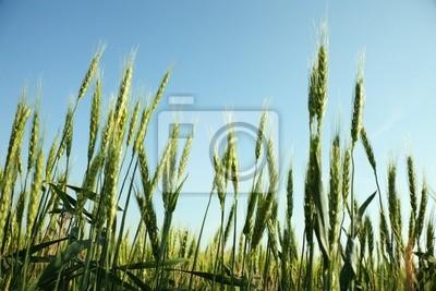 Pole zielone pszenicy
