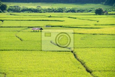 Pole żółtego ryżu