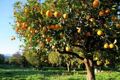 Obraz Pomarańczowy zbiorów