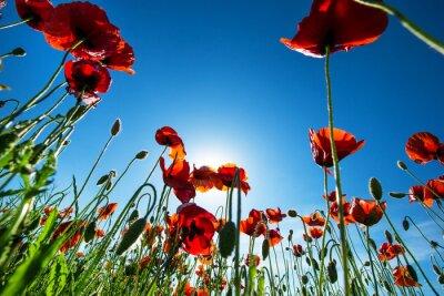 Obraz Poppy kwiaty