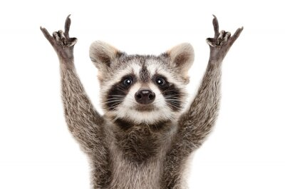 Obraz Portrait of a funny raccoon showing a rock gesture isolated on white background.JPG