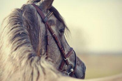 Obraz Portrait of a sports stallion