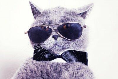 Obraz Portrait of British shorthair gray cat wearing sunglasses