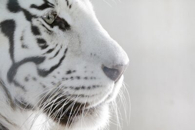 Obraz Porträt Weißer Tiger