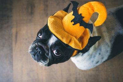 Obraz Portret Buldog francuski z kapelusz halloween