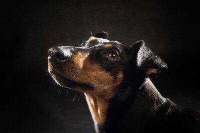 Obraz portret chien manchester terrier
