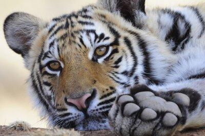 Obraz Portret Closeup strzał z Tygrys bengalski