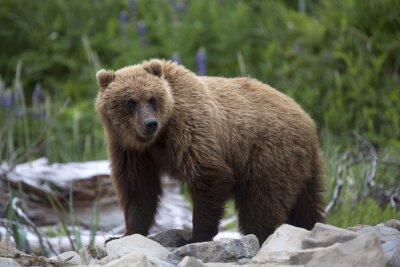Obraz Portret dzikich wolnego roamingu niedźwiedzia brunatnego