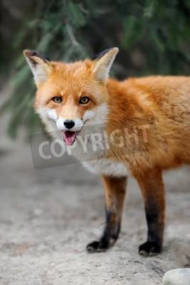 Obraz Portret dzikiego lisa w przyrodzie