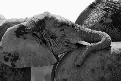 Obraz Portret młodego słonia w czerni i bieli