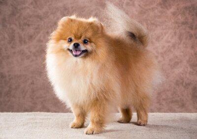 Obraz Portret Pies Pomorski