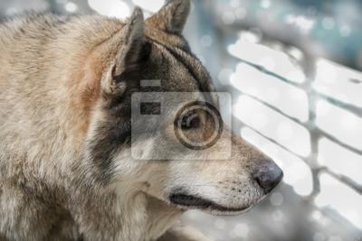 Portret / Portret wilka wilk, cyfrowego retuszu.