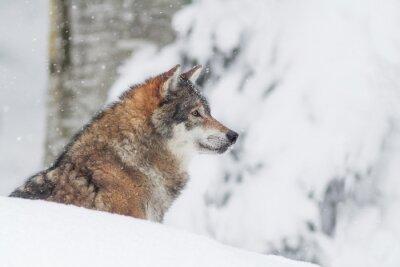 Obraz Portret Wilk w śniegu
