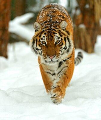 Obraz Portret z tygrysa syberyjskiego