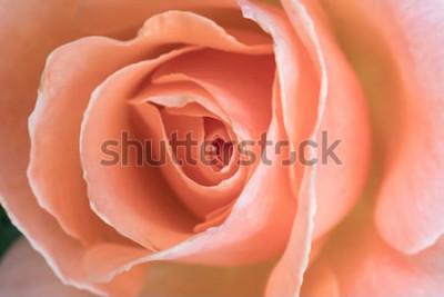 Obraz pośrodku różowej róży, zbliżenia tło