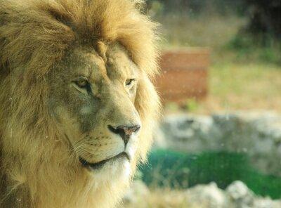 Obraz Profil dużego samca lwa