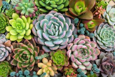 Obraz Prostokątne rozmieszczenie sukulentów; sukulenty kaktusowe w donicy