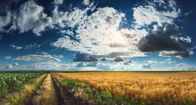 Obraz Pszenica i kukurydza pola przed zbiorami