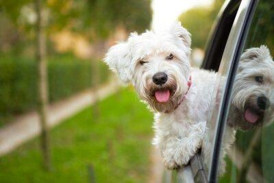 Obraz puppy patrząc przez okno samochodu