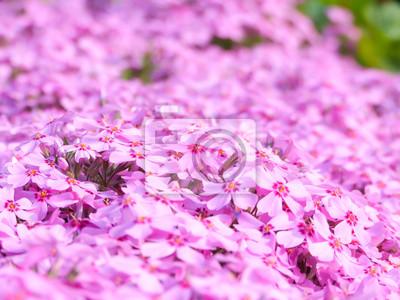 Purpurowy Kwiat pole