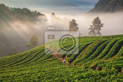 rano w pięknej farmie truskawek w Chiang Mai w Tajlandii