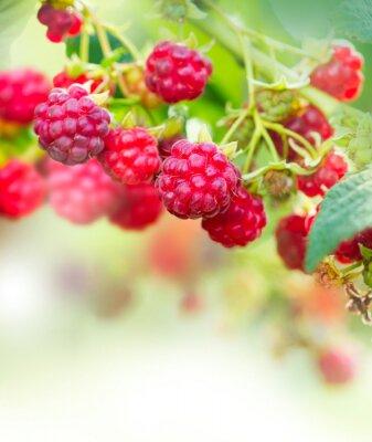 Obraz Raspberry. Uprawa ekologiczna Art Projekt Berries