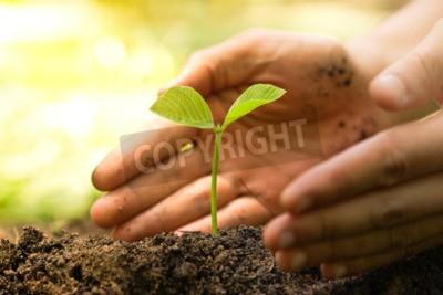 Obraz Ręce rolnik uprawy i pielęgnacji drzewa rosnące na żyznej gleby z zielonym i żółtym tle bokeh